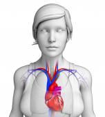 女性の心臓の解剖学 — ストック写真