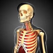 Male skeleton and lungs artwork — Stock Photo