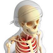 Human head anatomy — Stock Photo