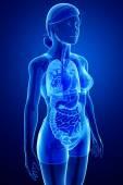 女性解剖消化系统 — 图库照片