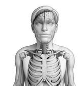 Human body respiratory system — Stock Photo