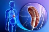 Male spleen anatomy — Stock Photo