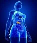 Female pancreas anatomy — 图库照片