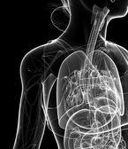 Female  x-ray respiratory artwork — Stock Photo