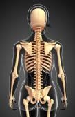 Human skeleton back view — Stock Photo