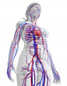 Female circulatory system — Stock fotografie