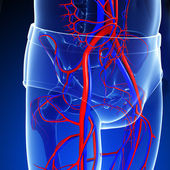 Pelvic girdle circulatory system — Stock Photo