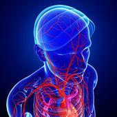 Mänskliga huvudet artärer — Stockfoto
