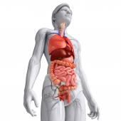 男性の体の消化器系 — ストック写真