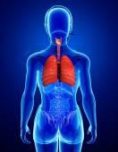 Female lungs anatomy — Stock Photo