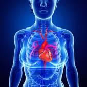 Female heart anatomy — Stock Photo