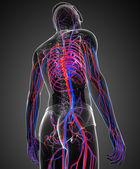 Sistema circolatorio maschile — Foto Stock