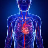 Human lungs anatomy — Stock Photo