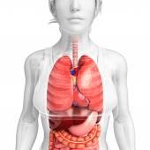 Kadın vücudunun sindirim sistemi — Stok fotoğraf