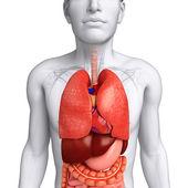 Sistema digestivo del cuerpo masculino — Foto de Stock