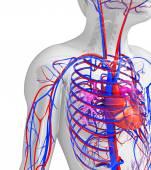 Sistema circulatório de coração masculino — Foto Stock