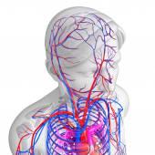 Brain circulatory system — Foto Stock