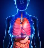 Digestive system of female body — Stock Photo