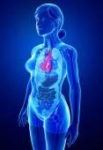 Anatomía del corazón femenino — Foto de Stock