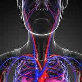 Female neck circulatory system — Foto de Stock