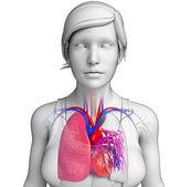 Anatomía masculina pulmones — Foto de Stock