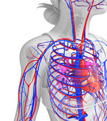 Female heart circulatory — Stock Photo