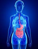 Small intestine anatomy of female — Stock Photo