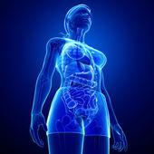 Xray digestive system of female body — Stock Photo