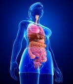 Sistema digestivo femenino ilustraciones — Foto de Stock