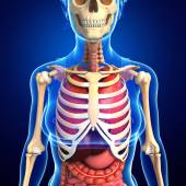 Male skeleton and digestive system — Stock Photo
