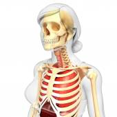Female lungs and skeleton artwork — Stock Photo