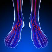 Foot circulatory system — Foto Stock
