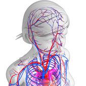 Brain circulatory system — Stok fotoğraf