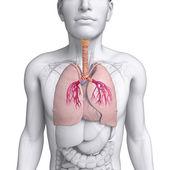 Männliche lunge anatomie — Stockfoto