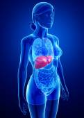 Female liver anatomy — Stock Photo