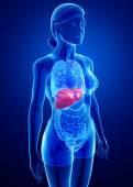Female liver anatomy — Stockfoto