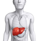 Male liver anatomy — Stock Photo