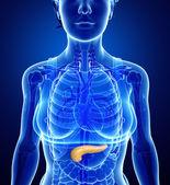 Female pancreas anatomy — Stock Photo