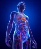 Sistema circulatório masculino — Foto Stock