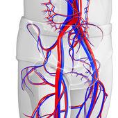 Pelvic circulatory system — Stock Photo
