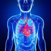 Male heart anatomy — Stock Photo