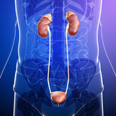 Male urinary system — Stock Photo