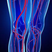Knee circulatory system — Stock Photo