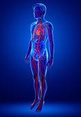 Male arteries artwork — Stok fotoğraf