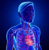 Male heart circulatory system — Stock Photo