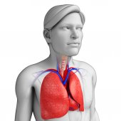 Male lungs anatomy — Stock Photo