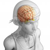 Human brain antomy — Stock Photo