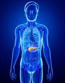 Male pancreas anatomy — Stock Photo
