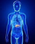 Anatomie du pancréas mâle — Photo