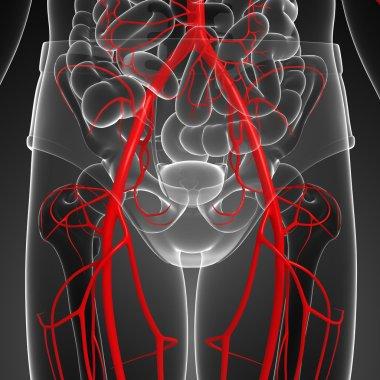 Human arterial system